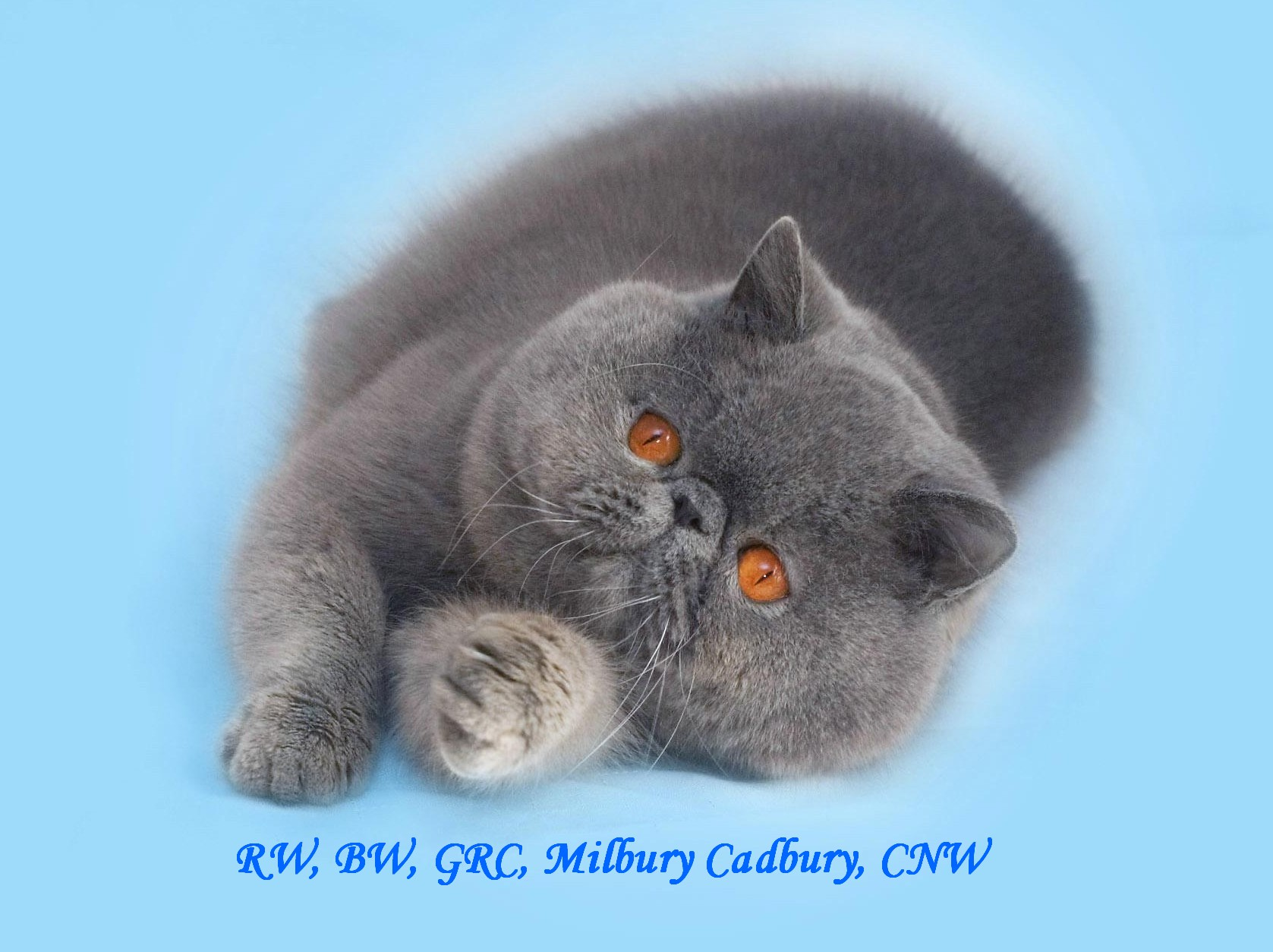 Milbury Exotic Shorthair Cattery:Exotic kittens for sale